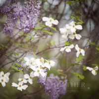 Dogwood, Wisteria Spring & Easter Portrait Sessions